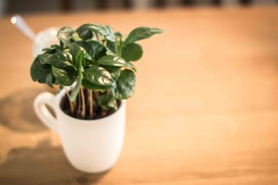 ginko-greenhouse-pflanze